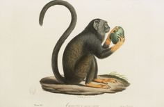 Dessins anciens de singes : singe Tamarin a mains rousses.jpg