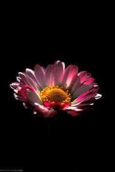 Exotic Flowers, Fresh Flowers, Pink Flowers, Angel Wallpaper, Flower Phone Wallpaper, Beautiful Gif, Beautiful Flowers, Gerbera Flower, Black Background Photography