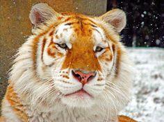 Golden tiger, golden tabby tiger or strawberry tiger