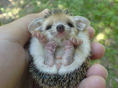 Baby Hedgehog. Faith wants one of these so bad!