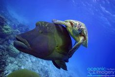 Hitching a free ride with Oceanic Imagery on the Great Barrier Reef in Queensland.