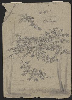 Chestnut | Library of Congress