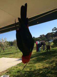 #kingparrot #lidsvegas # australia #parrot