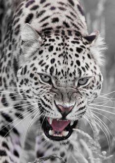 Snow leopard. kittyflix.com
