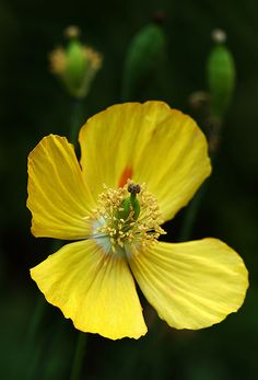 Welsh poppy, a little bit of sunshine. Happy St. David's Day #lovewales #loveyourgarden www.arkgardenservices.co.uk
