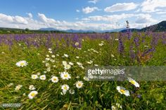 Flower meadow with Daisies -Leucanthemum- and Meadow Sage... #volkermarkt: Flower meadow with Daisies -Leucanthemum- and… #volkermarkt