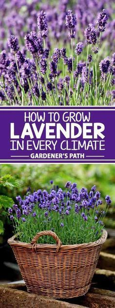If you�re looking for a beautiful addition to your garden that requires very little maintenance while offering a bountiful harvest year after year, then lavender is the plant for you! Learn what variety fits with your region and the best tips to grow it!