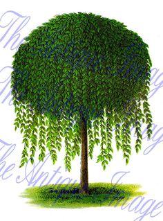 Vintage Clip Art Botanical Illustration Tree Weeping Willow. $2.75, via Etsy.