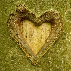 Le coeur de l'arbre. Photo de Mioke.
