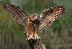Eagle Owl Taking Off by Ronald Coulter on 500px