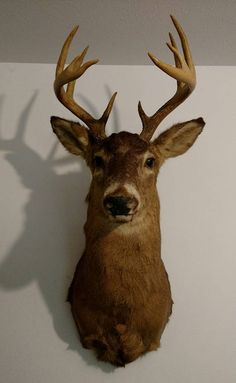 Check out this item in my Etsy shop https://www.etsy.com/listing/546698374/10-point-buck-deer-shoulder-mount