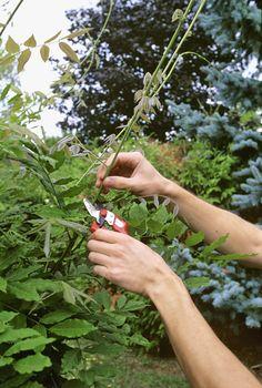 Cette opération n'est pas compliquée si l'on garde en tête qu'il faut couper la plante deux à trois fois par an Plantation, Wisteria, Parsley, Planters, Herbs, Garden Ideas, Gardening, Gardens, Pruning Hydrangeas