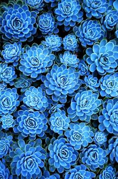 texture in nature plants * texture in nature ; texture in nature sea shells ; texture in nature art ; texture in nature pattern ; texture in nature plants ; texture in nature stones ; texture in nature textiles ; texture in nature drawing Blue Succulents, Planting Succulents, Planting Flowers, Blue Plants, Succulent Plants, Succulent Containers, Succulent Wall, Flowers Garden, Air Plants