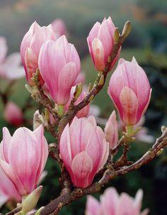 Magnolia Soulangeana mooie plant die het overal goed doet. Deze plant kunt u snoeien in het najaar.