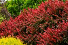 Berberis thunbergii golden torch backyards pinterest for Siepe highlander