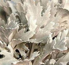 Mayesh Wholesale Florists Dusty Miller- Grayed Jade