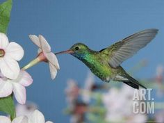 Broad Billed Hummingbird, Male Feeding on Nicotiana Flower, Arizona, USA Photographic Print by Rolf Nussbaumer at Art.com