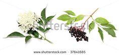 Elderberry Stock Photos, Images, & Pictures   Shutterstock
