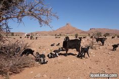 Goats in Sahara Desert with nomad tents on the background