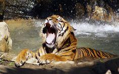 2017-03-02 - Cool tiger wallpaper - #1654790