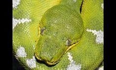 Image result for amazon emerald tree boa head