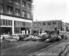 Pigs on Bernard Avenue, Kelowna, B.C. - It looks to be possibly in the 30's