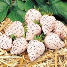 Seeds Shopp - White Strawberry seeds,White Snow Alpine Strawberry,Fragaria Vesca Fruit seeds,Fresh Exotic Seeds for Home Garden plants New Arrival !