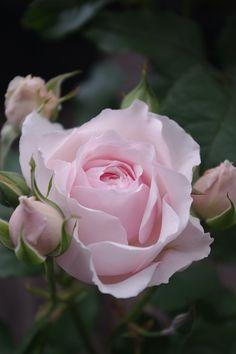 Shrub Rose: Rosa 'Misake' (Japan, 2007)