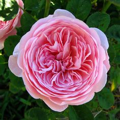 david austin english rose. Beautiful but needs lots of attention