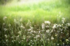 """""""Faerie Song"""" -- Lynn Langmade Fine Art Nature Photography -- green, emerald grass with white purple flowers - photograph"""
