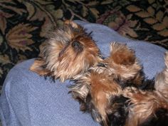 i need my beauty rest...zzzzzzz #yorkshireterrier