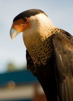 mexican eagle or crested caracara.