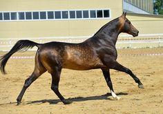 sooty buckskin - Akhal-Teke stallion Shumer-Shael