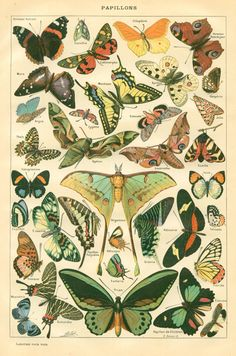 vintage botanical prints - butterflies