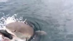 Editor's note:This video contains language some might consider explicit. Viewer discretion advised. NEW ZEALAND -- A fisherman thought he hooked the catch of a lifetime, but then ashark got invol...