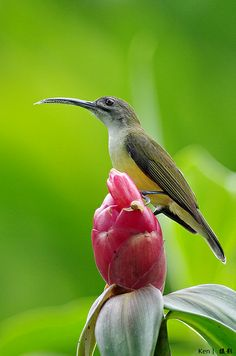 Little Spiderhunter (Arachnothera longirosta)