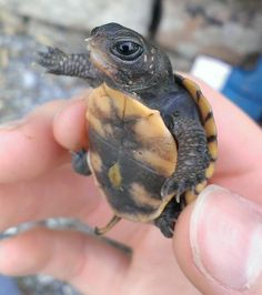 What better way to celebrate World Turtle Day than with these cuties? Cute Baby Turtles, Cute Baby Animals, Animals And Pets, Funny Animals, Turtle Baby, Box Turtles, Sweet Turtles, Land Turtles, World Turtle Day