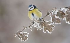 Blue tit (Parus caeruleus) perched on a snowy branch, Scotland. Did you know? Blue tits are known for their ability to learn - such as pecking the foil tops off milk bottles to get to the cream.  Picture: Mark Hamblin/2020VISION / Rex Features