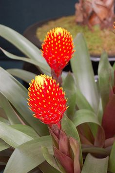 Guzmania conifera (Bromeliaceae) by Tim Waters, via Flickr