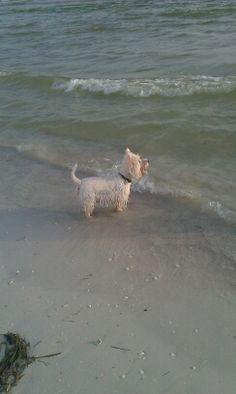My beach Westie.  O'Malley on Fort Myers Beach :)