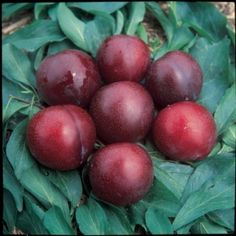 """Santa Rosa Dwarf Plum: """"produces large, very juicy, dark reddish purple fruit. The melting red flesh has a fine texture and delightful flavor. Santa Rosa is one of the best Japanese Plums. Trees are large, rapid growing and bear early. Ripens mid to late August. Zones 5-8  Shiro, Superior and Santa Rosa are Japanese plums and need different varieties for proper pollination. All other varieties are self-pollinating. Plant dwarf trees 10' apart. Mature height 8-10'. """""""