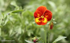 Winter Flowers, Flower Pictures, Pansies, Plants, Photos Of Flowers, Plant, Violets, Planting, Planets