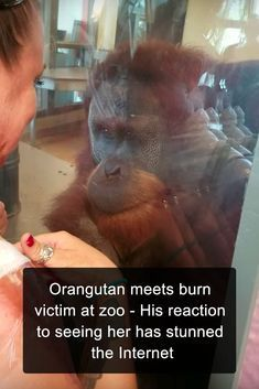 This orangutan's unexpected reaction when he met her has touched millions around the world. friends Orangutan meets burn victim at zoo - His reaction to seeing her has stunned the Internet Cute Funny Animals, Cute Baby Animals, Animals And Pets, Wild Animals, Brave Animals, Amazing Animals, Animals Beautiful, Beautiful Creatures, Internet