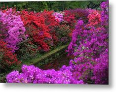 Jenny Rainbow Fine Art Photography Metal Print featuring the photograph Purple Symphony of Spring Rhododendrons in Keukenhof by Jenny Rainbow Trending Art, Fine Art Prints, Framed Prints, Thing 1, Beautiful Flowers Garden, Buy Art Online, Botanical Gardens, Spring Flowers, Fine Art Photography