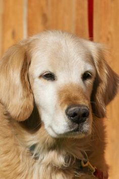 Cody has been adopted! This is Cody - 11 yrs. He is neutered, current on vaccinations, potty trained & prefers a home with no young kids. He is new to rescue & settling into foster. Cody will be looking for a forever home & is at Golden Retriever Rescue of the Rockies, CO.