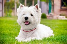 West Highland terrier (westy)