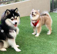 Pomsky Puppies, Azula, Northern California, Husky, Dogs, Animals, Animais, Animales, Animaux