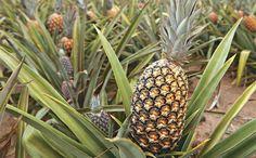 Os 11 Benefícios do Abacaxi Para Saúde | Dicas de Saúde