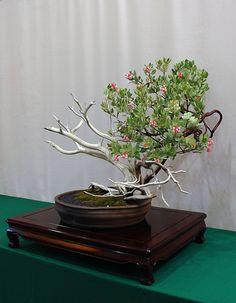 flowering bonsai | Flowering Manzanita Bonsai | Flickr - Photo Sharing!