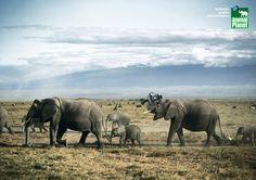 animal_planet_elephants.jpg 1,181×835 pixels